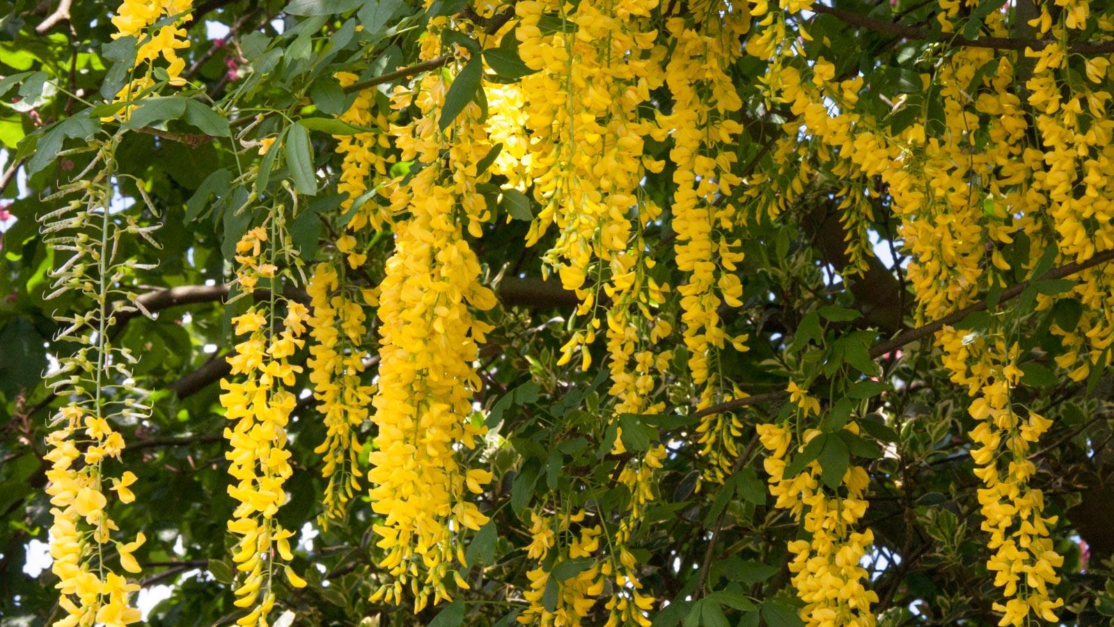 Goldregen-Giftpflanze im Garten