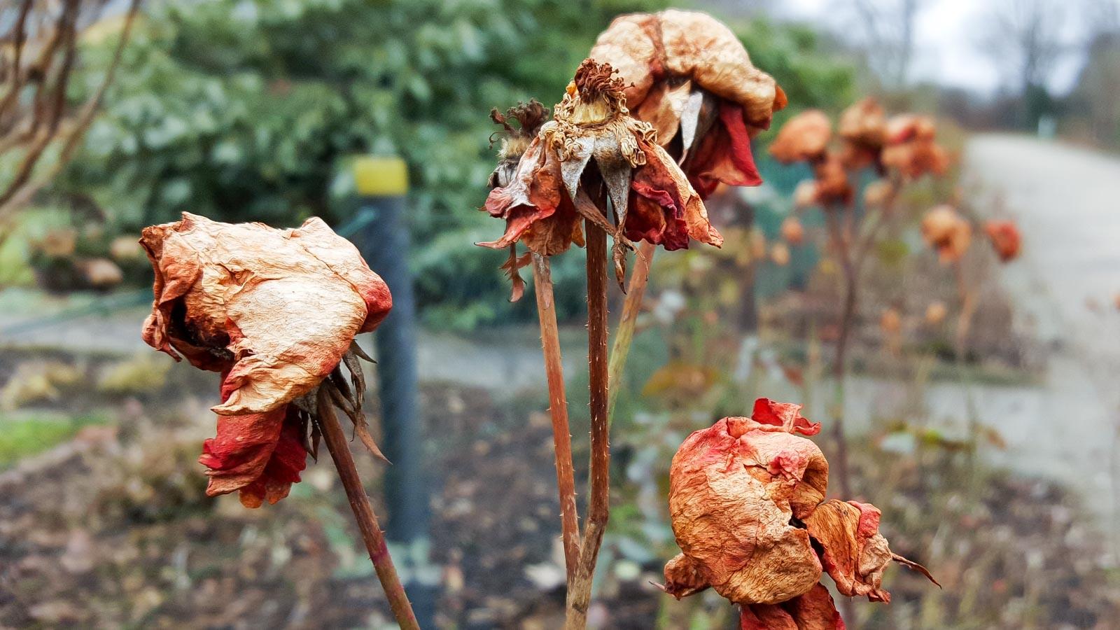 Verblühte Rosen nach dem Winter in Nahaufnahme