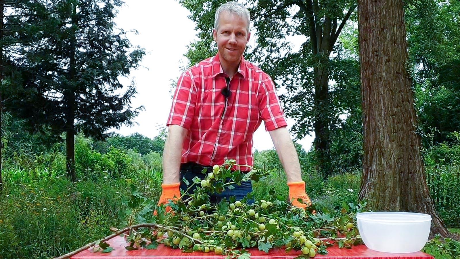Gartenberater Dahlmann steht vor einem Tisch mit Stachelbeerzweigen