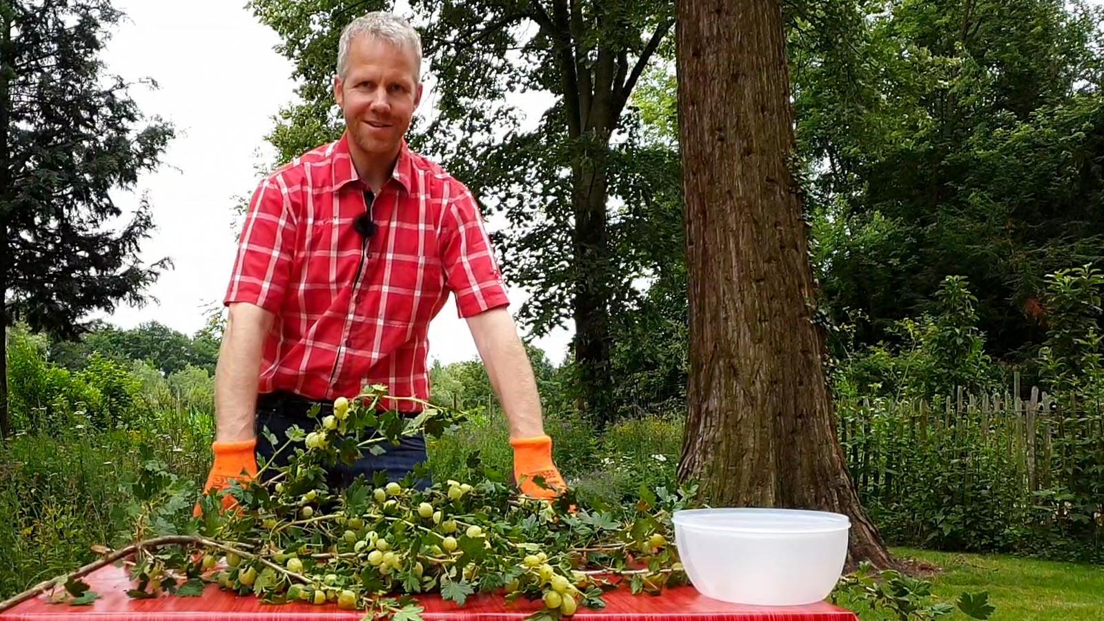 Stachelbeerzweige mit Früchten liegen auf einem Tisch hinter dem Gartenberater Philippe Dahlmann steht